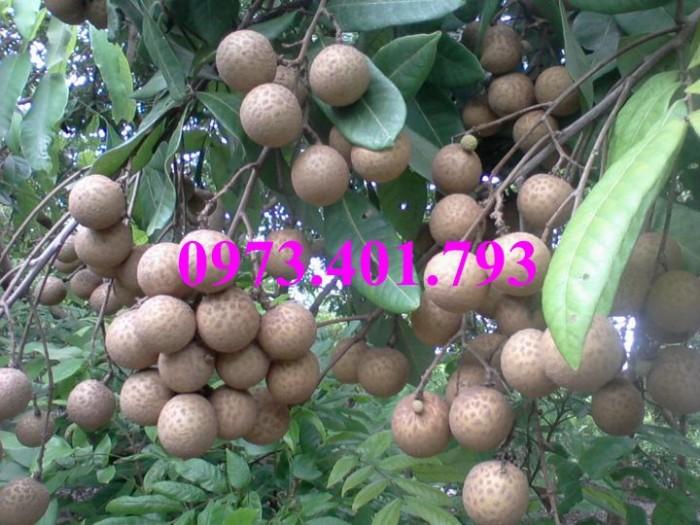 Chuyên Cung cấp các loại  giống cây nhãn uy tín, chất lượng27