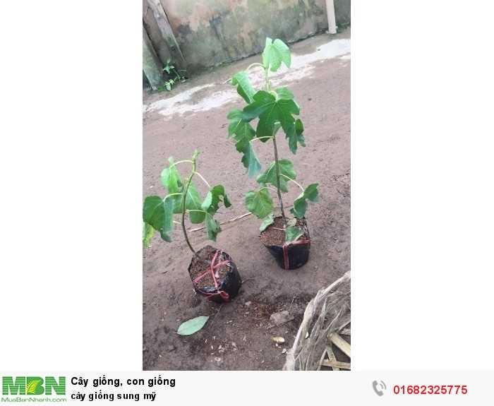 cây giống, con giống sung mỹ1