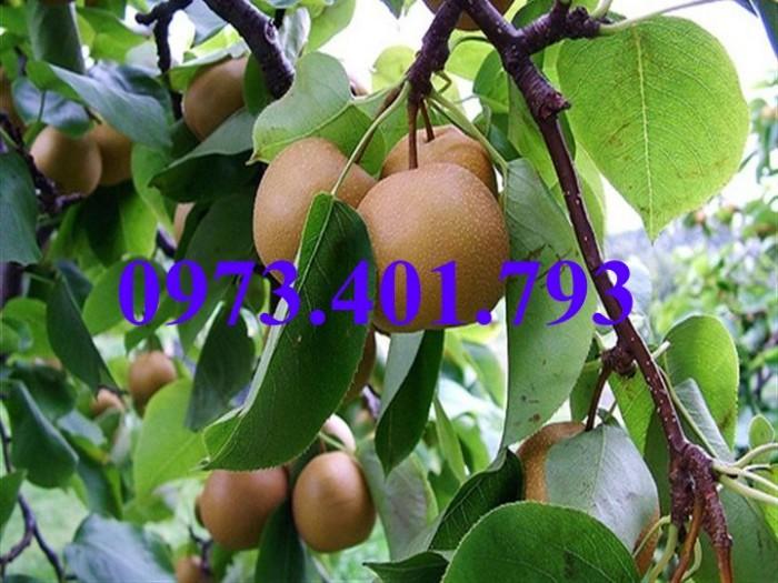 Giống cây Lê nâu (Mắc Cọp)8