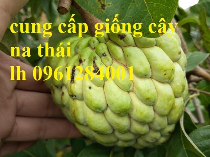 Giống cây na thái chất lượng uy tín, mãng cầu thái, giao hàng toàn quốc9