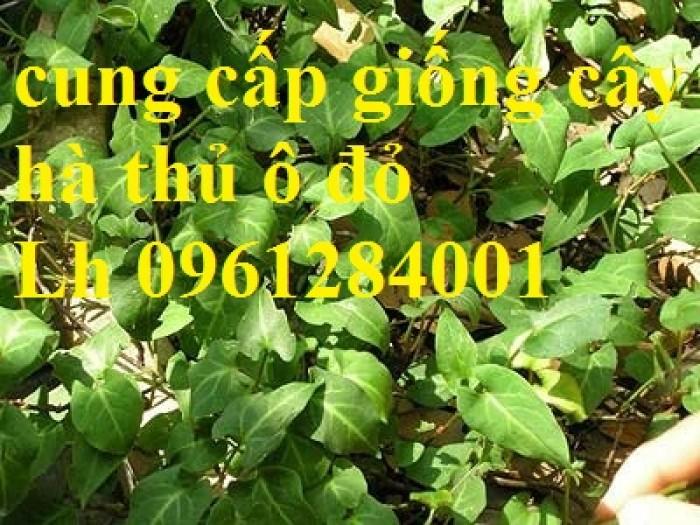 Bán cây giống hà thủ ô đỏ, số lượng lớn, giao cây toàn quốc.9