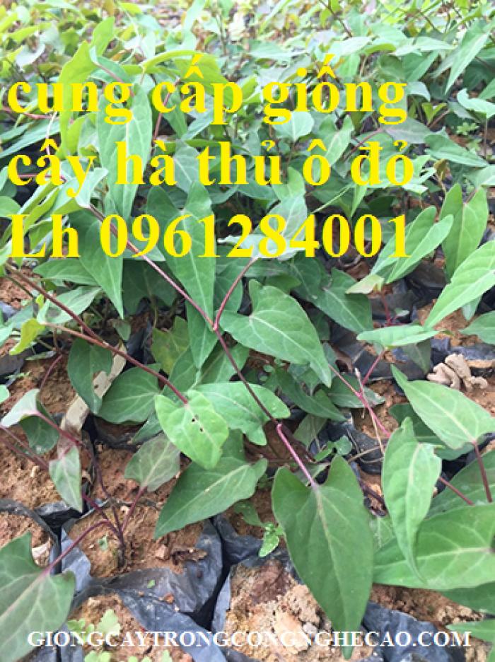 Bán cây giống hà thủ ô đỏ, số lượng lớn, giao cây toàn quốc.10
