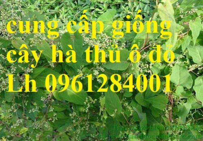 Bán cây giống hà thủ ô đỏ, số lượng lớn, giao cây toàn quốc.11