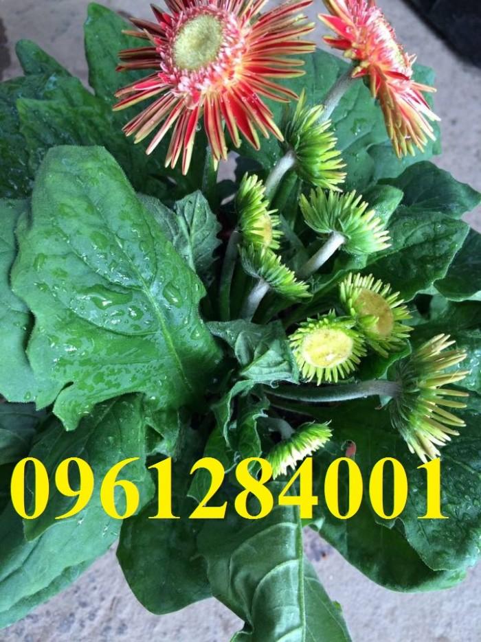 Bán cây giống hoa đồng tiền nuôi cấy mô, số lượng lớn, giao cây toàn quốc12