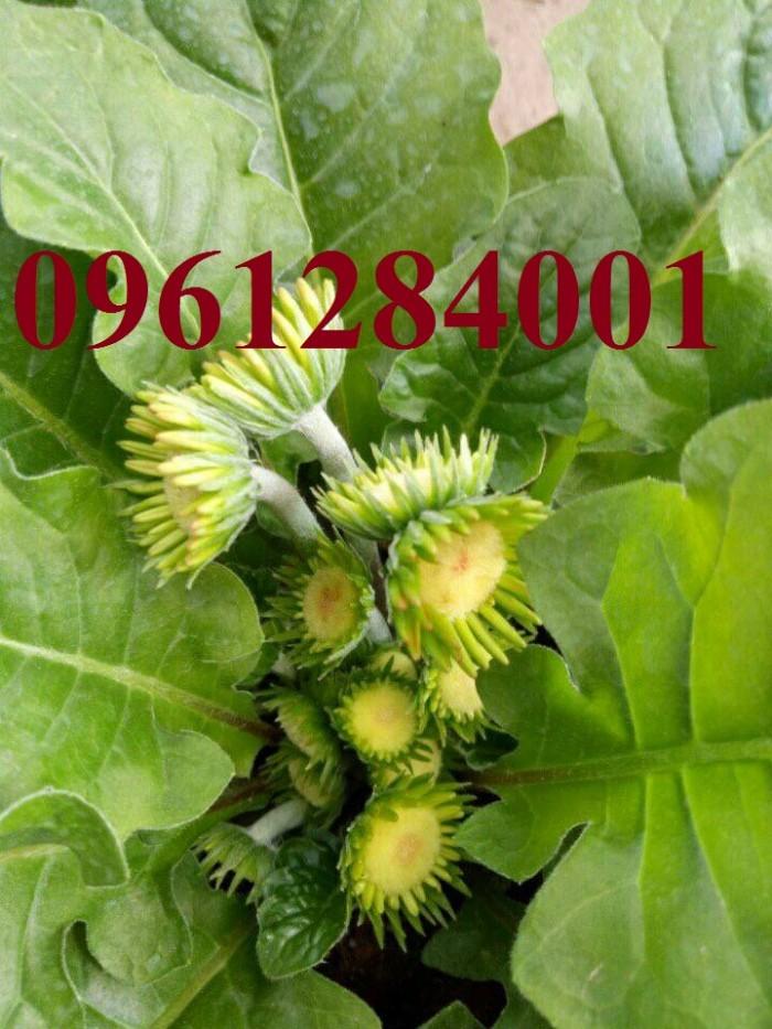 Bán cây giống hoa đồng tiền nuôi cấy mô, số lượng lớn, giao cây toàn quốc11