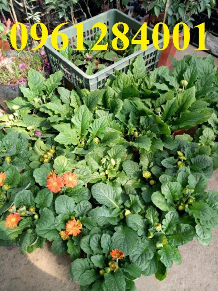 Bán cây giống hoa đồng tiền nuôi cấy mô, số lượng lớn, giao cây toàn quốc16