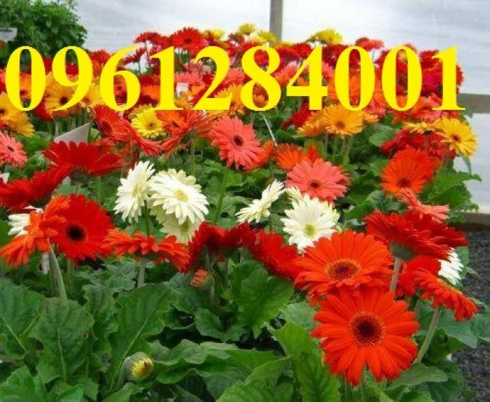 Bán cây giống hoa đồng tiền nuôi cấy mô, số lượng lớn, giao cây toàn quốc18