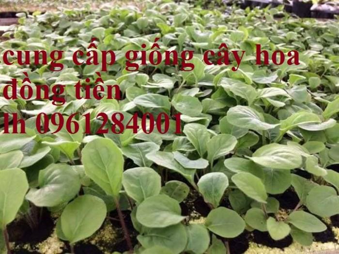Bán cây giống hoa đồng tiền nuôi cấy mô, số lượng lớn, giao cây toàn quốc21