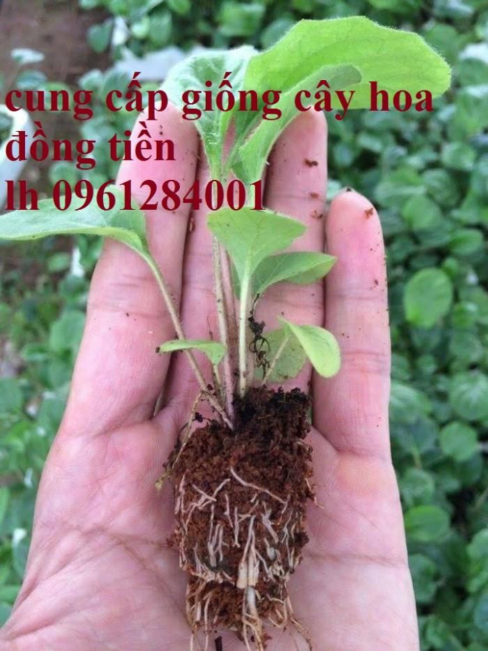 Bán cây giống hoa đồng tiền nuôi cấy mô, số lượng lớn, giao cây toàn quốc22