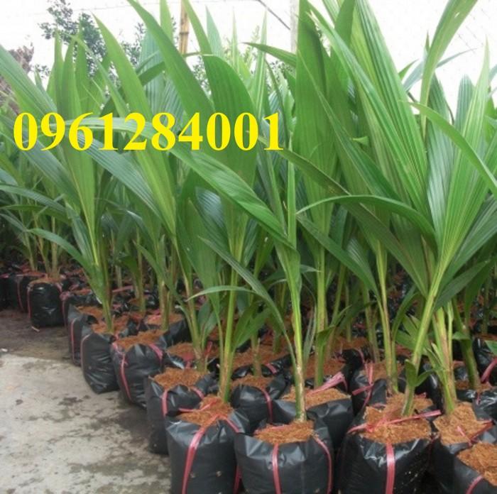 Giống cây dừa xiêm lùn chất lượng, giá cả hợp lý, dừa xiêm xanh lùn, giao hàng toàn quốc8