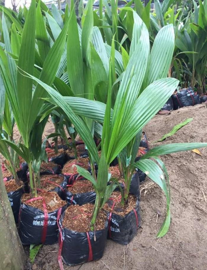 Giống cây dừa xiêm lùn chất lượng, giá cả hợp lý, dừa xiêm xanh lùn, giao hàng toàn quốc10