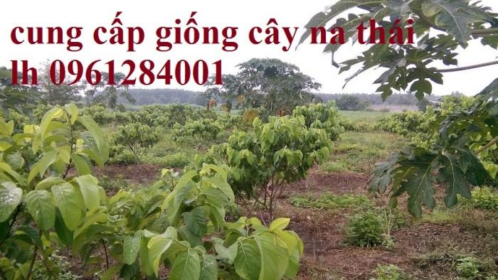 Bán cây giống na Thái Lan, mãng cầu thái số lượng lớn, giao cây toàn quốc5