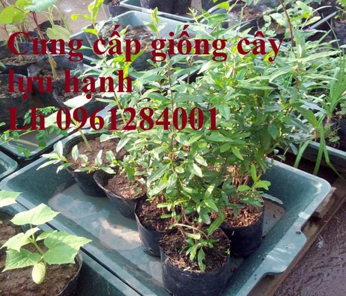 Bán cây giống lựu, số lượng lớn, giao cây toàn quốc6