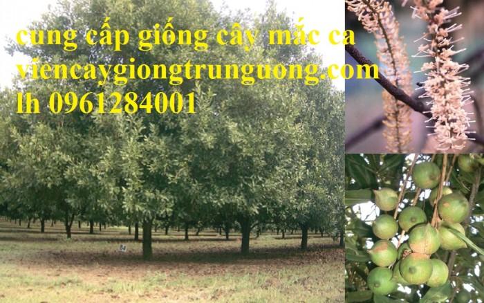 Bán cây giống măcca, số lượng lớn, giao cây toàn quốc.5