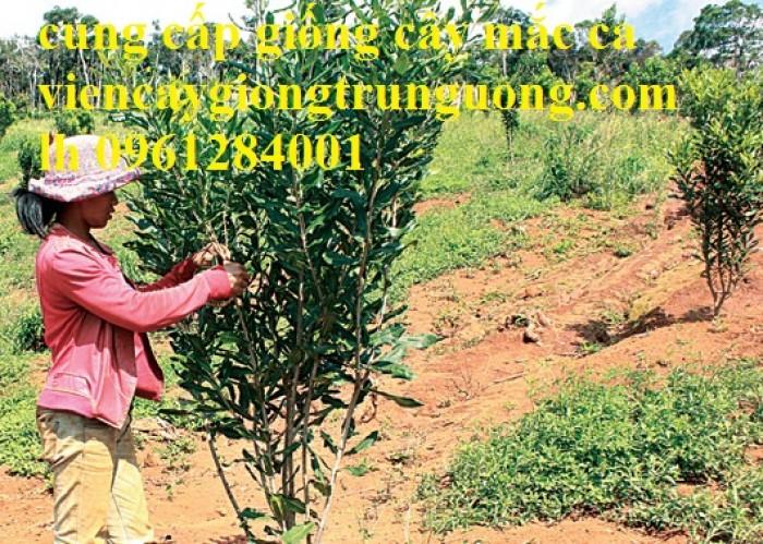 Bán cây giống măcca, số lượng lớn, giao cây toàn quốc.6