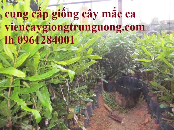 Bán cây giống măcca, số lượng lớn, giao cây toàn quốc.9