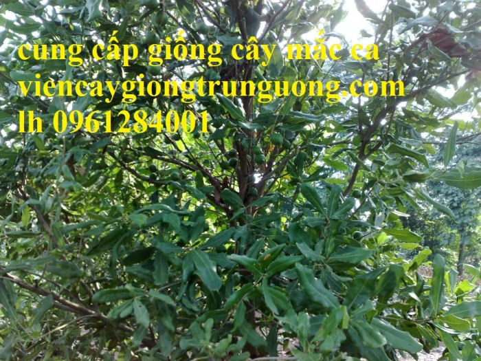 Bán cây giống măcca, số lượng lớn, giao cây toàn quốc.13