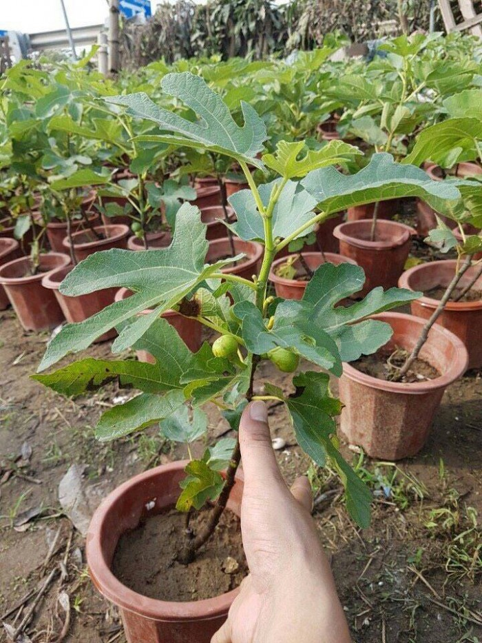 Viện cây giống - Cây sung mỹ6
