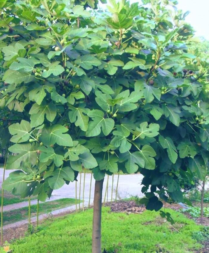 Viện cây giống - Cây sung mỹ4