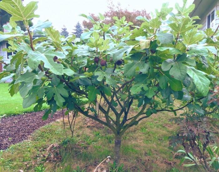 Viện cây giống - Cây sung mỹ10