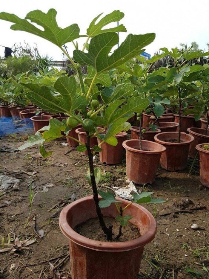 Viện cây giống - Cây sung mỹ0