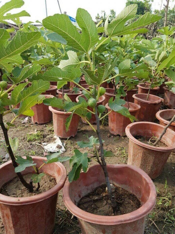 Viện cây giống - Cây sung mỹ2