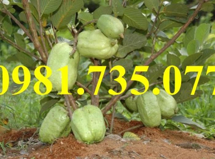 Cung cấp cây giống ổi không hạt, ổi không hạt, cây ổi, ổi, cây ổi không hạt2