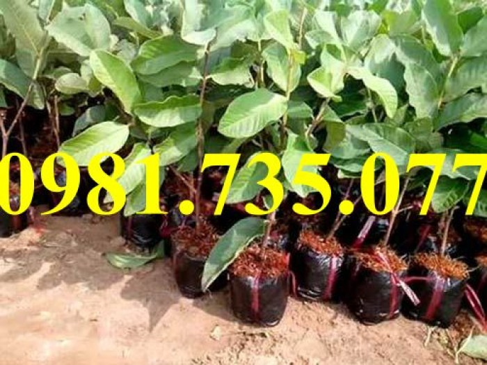 Cung cấp cây giống ổi không hạt, ổi không hạt, cây ổi, ổi, cây ổi không hạt1