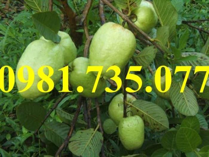 Cung cấp cây giống ổi không hạt, ổi không hạt, cây ổi, ổi, cây ổi không hạt5