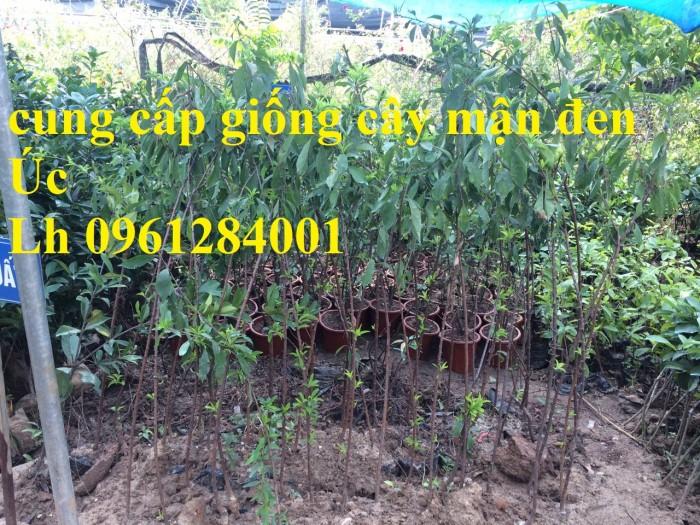 Bán giống cây mận đen Úc, cây mận đen, cây giống nhập khẩu1