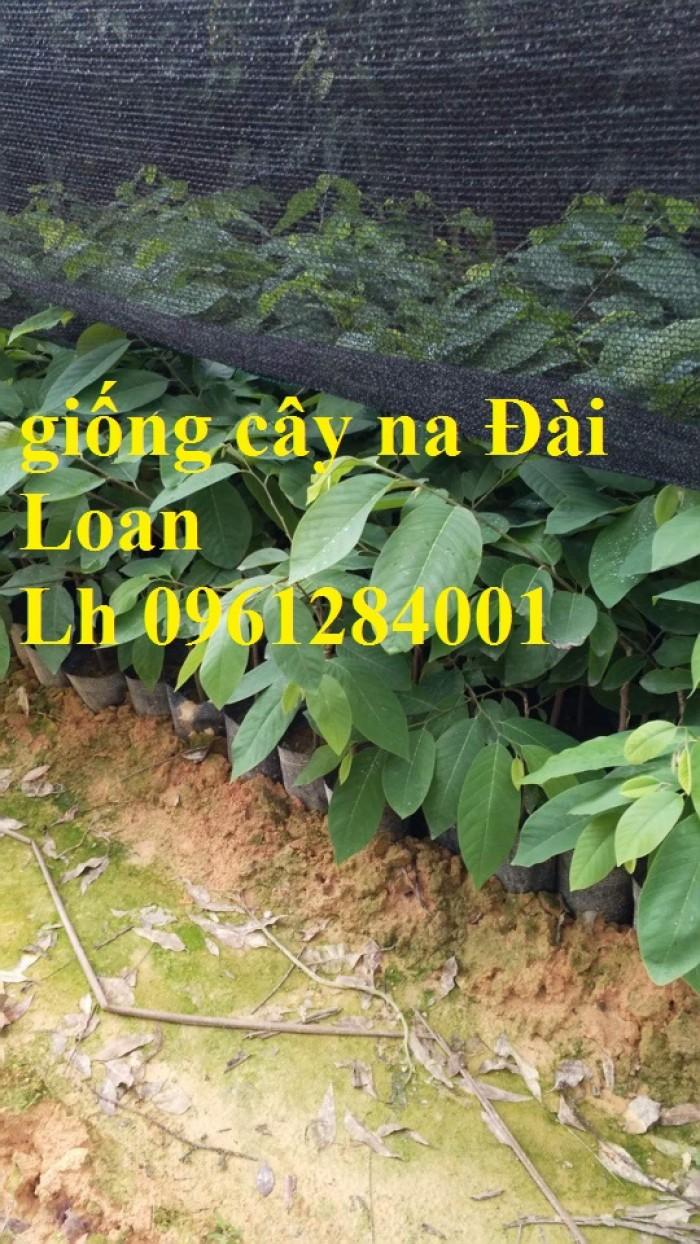 Mua cây giống na Đài Loan ở đâu chuẩn giống, uy tín?5