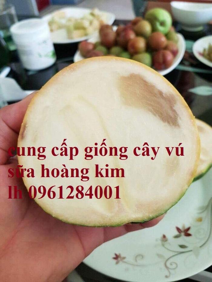 Vú sữa vàng Đài Loan, vú sữa hoàn kim, cây giống nhập khẩu chất lượng cao7