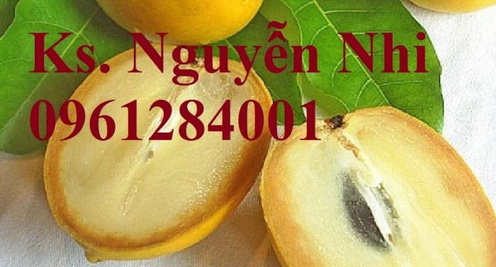 Vú sữa vàng Đài Loan, vú sữa hoàn kim, cây giống nhập khẩu chất lượng cao12