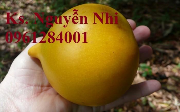 Vú sữa vàng Đài Loan, vú sữa hoàn kim, cây giống nhập khẩu chất lượng cao9
