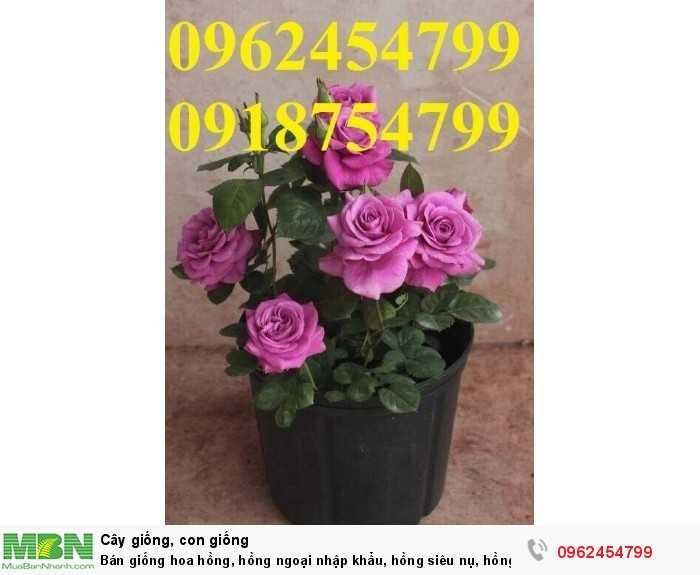 Bán giống hoa hồng, hồng ngoại nhập khẩu, hồng siêu nụ, hồng teza, giao hàng toàn quốc.1