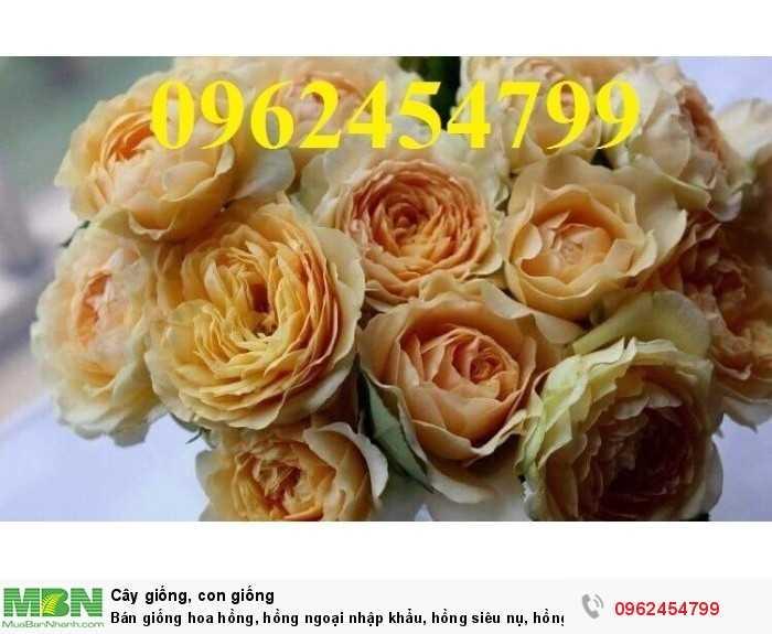 Bán giống hoa hồng, hồng ngoại nhập khẩu, hồng siêu nụ, hồng teza, giao hàng toàn quốc.2