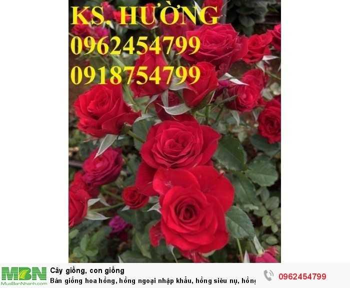 Bán giống hoa hồng, hồng ngoại nhập khẩu, hồng siêu nụ, hồng teza, giao hàng toàn quốc.3
