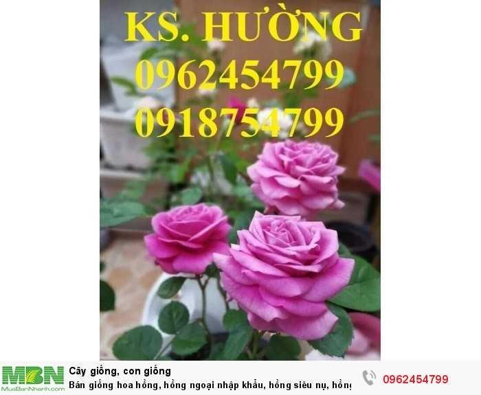 Bán giống hoa hồng, hồng ngoại nhập khẩu, hồng siêu nụ, hồng teza, giao hàng toàn quốc.6