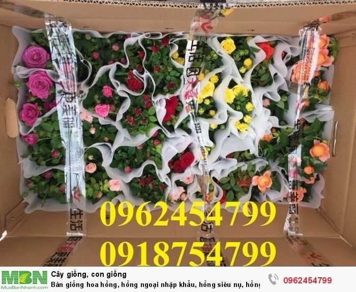 Bán giống hoa hồng, hồng ngoại nhập khẩu, hồng siêu nụ, hồng teza, giao hàng toàn quốc.7