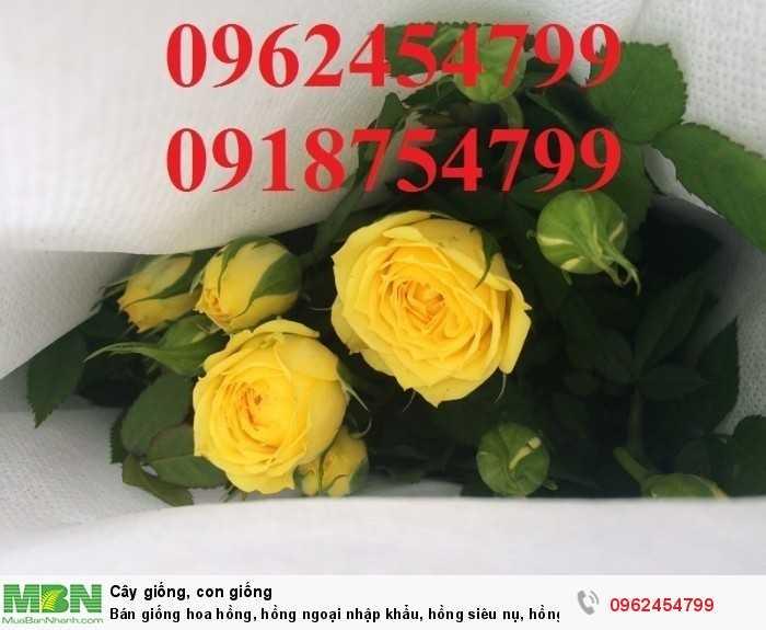 Bán giống hoa hồng, hồng ngoại nhập khẩu, hồng siêu nụ, hồng teza, giao hàng toàn quốc.8
