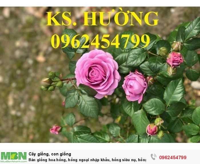 Bán giống hoa hồng, hồng ngoại nhập khẩu, hồng siêu nụ, hồng teza, giao hàng toàn quốc.9