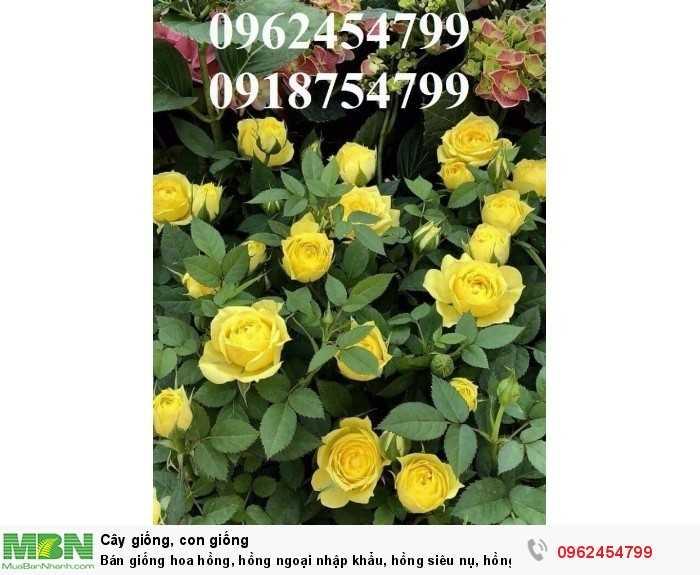 Bán giống hoa hồng, hồng ngoại nhập khẩu, hồng siêu nụ, hồng teza, giao hàng toàn quốc.11