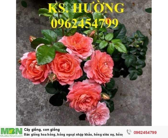 Bán giống hoa hồng, hồng ngoại nhập khẩu, hồng siêu nụ, hồng teza, giao hàng toàn quốc.12