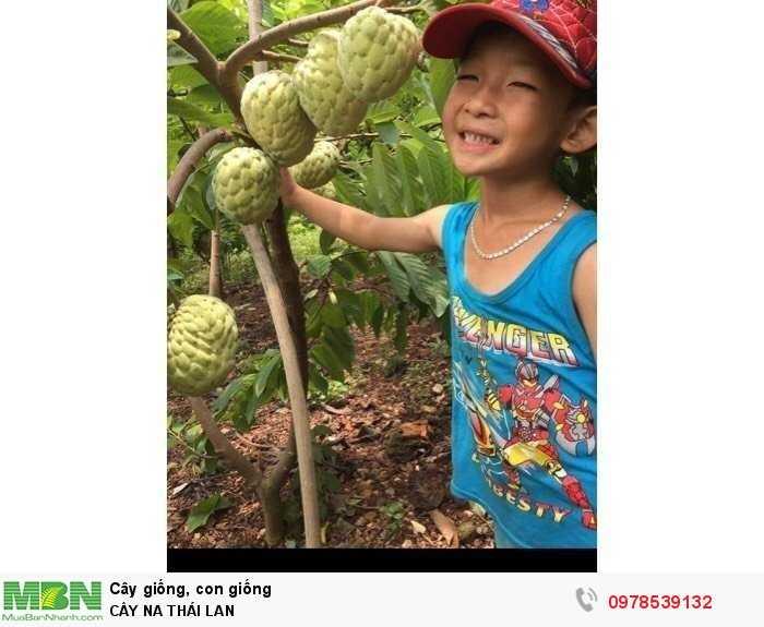 Cây Na Thái Lan0