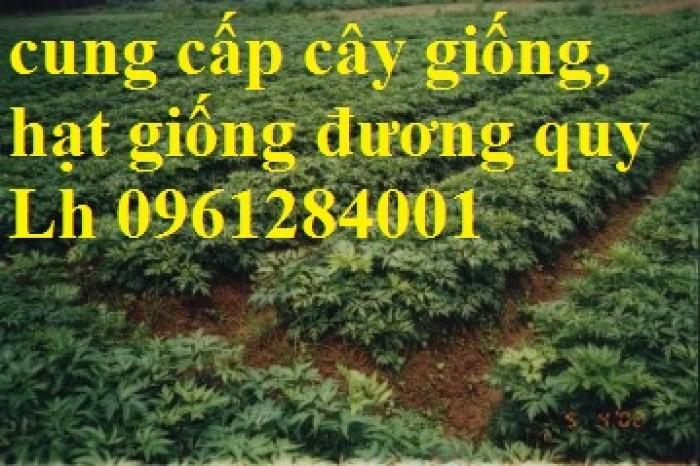 Cung cấp cây giống, hạt giống đương quy, đương quy trung, đương quy nhật, hàng loại 1 cam kết chất lượng8