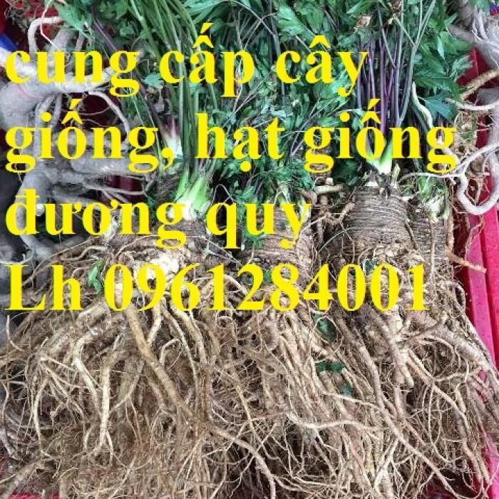 Cung cấp cây giống, hạt giống đương quy, đương quy trung, đương quy nhật, hàng loại 1 cam kết chất lượng4