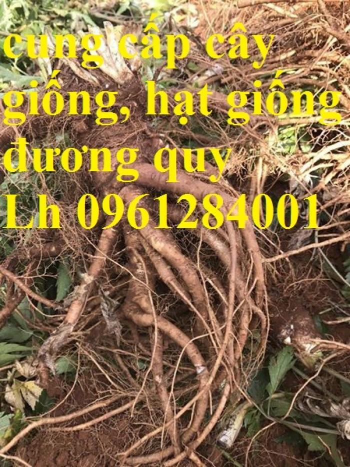 Cung cấp cây giống, hạt giống đương quy, đương quy trung, đương quy nhật, hàng loại 1 cam kết chất lượng3