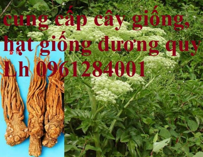 Cung cấp cây giống, hạt giống đương quy, đương quy trung, đương quy nhật, hàng loại 1 cam kết chất lượng5