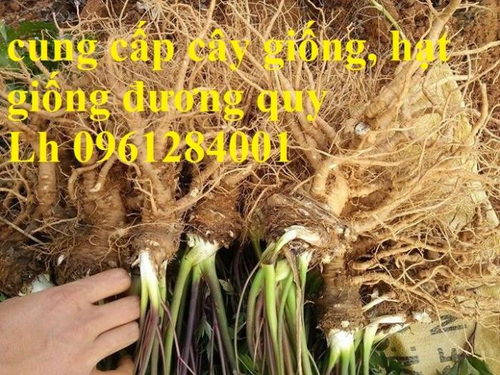 Cung cấp cây giống, hạt giống đương quy, đương quy trung, đương quy nhật, hàng loại 1 cam kết chất lượng6