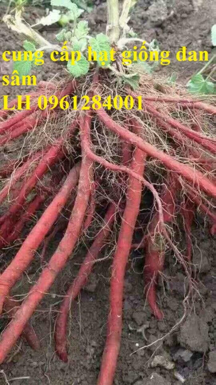 Cung cấp hạt giống đan sâm, hạt giống dược liệu, loại 1 cam kết chất lượng2